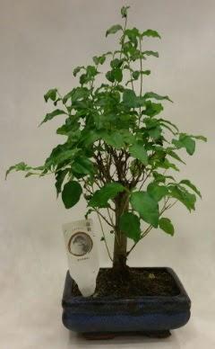 Minyatür bonsai japon ağacı satışı  Düzce cicek , cicekci