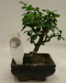 Küçük minyatür bonsai japon ağacı  Düzce online çiçek gönderme sipariş