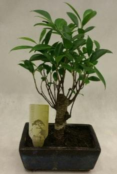 Japon ağacı bonsai bitkisi satışı  Düzce cicek , cicekci