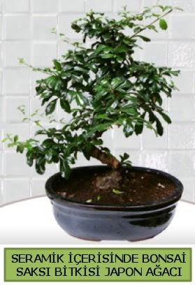 Seramik vazoda bonsai japon ağacı bitkisi  Düzce çiçek online çiçek siparişi