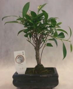 Bonsai japon ağacı bitkisi satışı  Düzce internetten çiçek siparişi