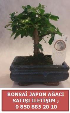 Japon ağacı minyaür bonsai satışı  Düzce cicekciler , cicek siparisi