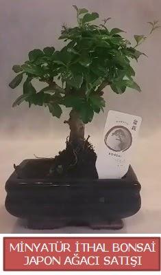 Küçük görsel bonsai japon ağacı bitkisi  Düzce uluslararası çiçek gönderme