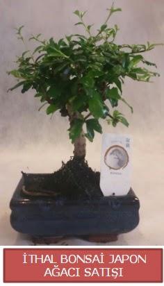 İthal küçük boy minyatür bonsai ağaç bitkisi  Düzce cicek , cicekci