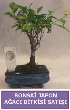 İthal Bonsai japon ağacı bitkisi satışı  Düzce çiçekçiler