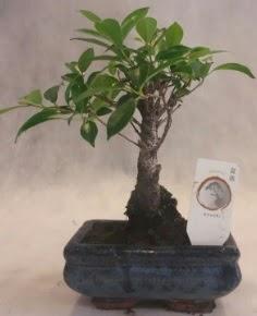 Bonsai ağacı japon ağaç bitkisi  Düzce çiçek siparişi vermek