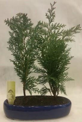 SINIRLI SAYIDA Selvi Ağacı bonsai ikili  Düzce cicek , cicekci
