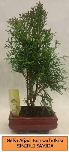 Selvi ağacı bonsai japon ağacı bitkisi  Düzce cicekciler , cicek siparisi