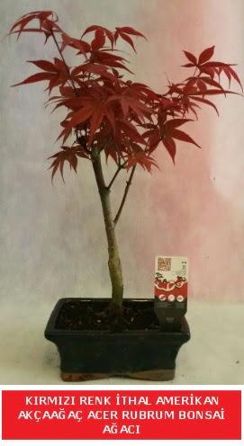 İTHAL ACER RUBRUM BONSAİ AĞACI  Düzce internetten çiçek siparişi