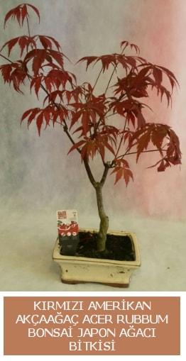Amerikan akçaağaç Acer Rubrum bonsai  Düzce İnternetten çiçek siparişi