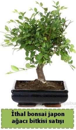 İthal bonsai saksı çiçeği Japon ağacı satışı  Düzce çiçekçiler