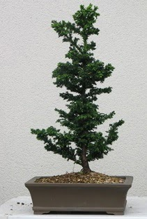 Çam ağacı bonsai bitkisi satışı  Düzce cicek , cicekci