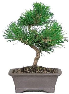 Çam ağacı bonsai japon ağacı bitkisi  Düzce online çiçek gönderme sipariş