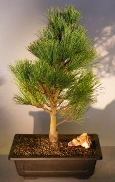 Çam ağacı japon ağacı bitkisi bonsai  Düzce cicek , cicekci