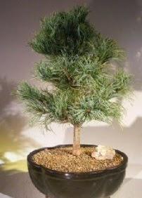 Çam ağacı bonsai bitkisi satışı  Düzce 14 şubat sevgililer günü çiçek