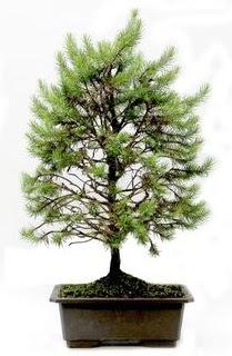 *** STOKTA YOK - Çam ağacı bonsai bitkisi satışı  Düzce çiçek yolla , çiçek gönder , çiçekçi