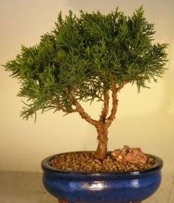 Servi çam bonsai japon ağacı bitkisi  Düzce çiçek siparişi vermek