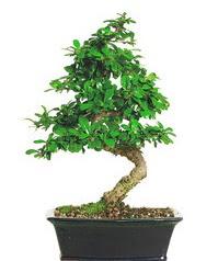 Bonsai bitkisi satışı  Düzce cicek , cicekci