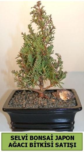 Selvi çam japon ağacı bitkisi bonsai  Düzce cicek , cicekci