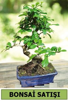 Çam bonsai japon ağacı satışı  Düzce cicekciler , cicek siparisi