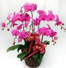Sepet içerisinde 5 dallı lila orkide  Düzce 14 şubat sevgililer günü çiçek