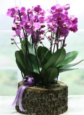 Kütük içerisinde 6 dallı mor orkide  Düzce 14 şubat sevgililer günü çiçek