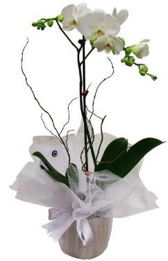 Tek dallı beyaz orkide  Düzce online çiçekçi , çiçek siparişi