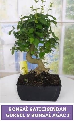 S dal eğriliği bonsai japon ağacı  Düzce cicekciler , cicek siparisi