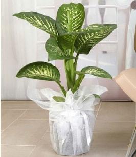 Tropik saksı çiçeği bitkisi  Düzce cicekciler , cicek siparisi