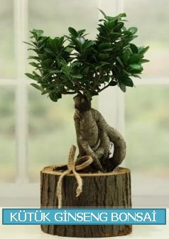 Kütük ağaç içerisinde ginseng bonsai  Düzce internetten çiçek siparişi