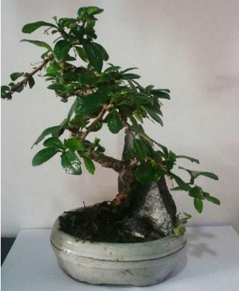 S şeklinde ithal bonsai ağacı  Düzce çiçek siparişi vermek