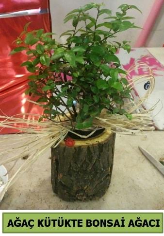 Doğal ağaç kütük içerisinde bonsai ağacı  Düzce internetten çiçek siparişi