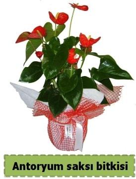 Antoryum saksı bitkisi satışı  Düzce uluslararası çiçek gönderme