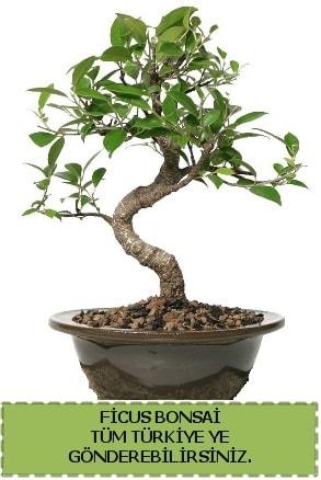 Ficus bonsai  Düzce internetten çiçek siparişi
