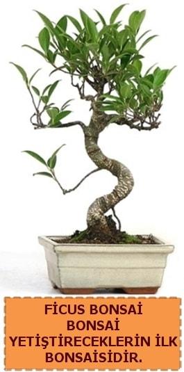 Ficus bonsai 15 ile 25 cm arasındadır  Düzce çiçek siparişi vermek