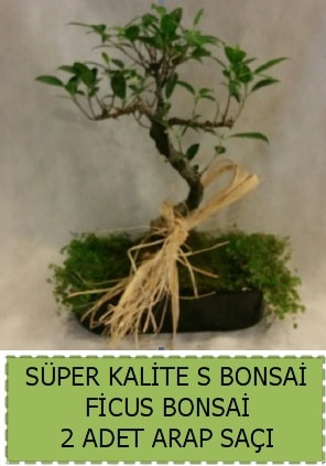 Ficus S Bonsai ve arap saçı  Düzce cicek , cicekci