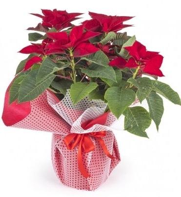 Atatürk çiçeği saksı bitkisi  Düzce internetten çiçek siparişi