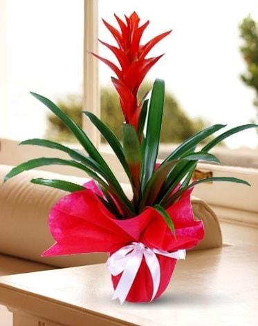 Guzmanya Saksı Çiçeği  Düzce çiçek siparişi vermek
