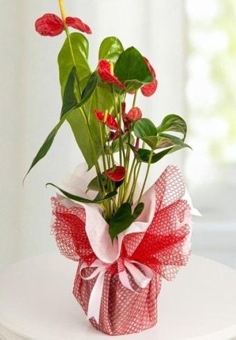Anthurium Saksı Çiçeği  Düzce anneler günü çiçek yolla