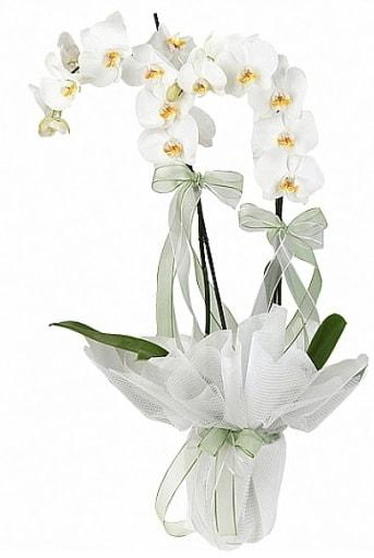 Çift Dallı Beyaz Orkide  Düzce çiçek yolla