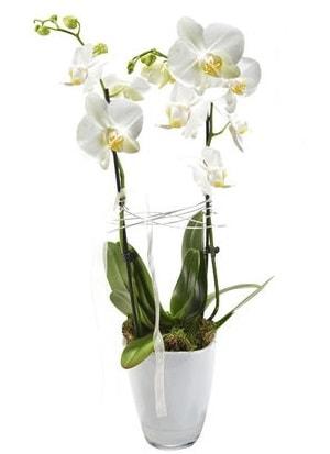 2 dallı beyaz seramik beyaz orkide saksısı  Düzce internetten çiçek siparişi