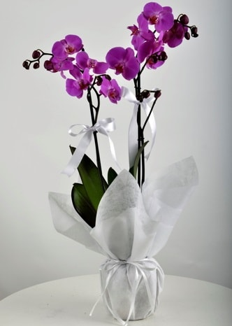 Çift dallı saksıda mor orkide çiçeği  Düzce güvenli kaliteli hızlı çiçek