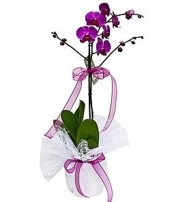 Tek dallı saksıda ithal mor orkide çiçeği  Düzce çiçek mağazası , çiçekçi adresleri