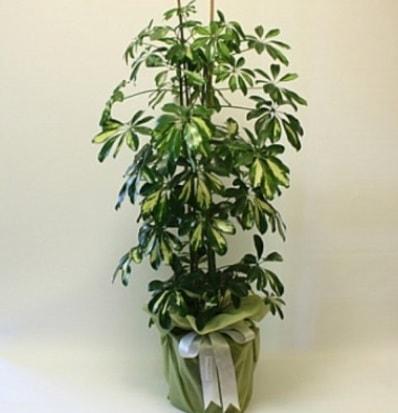 Şeflera salon bitkisi  Düzce online çiçek gönderme sipariş