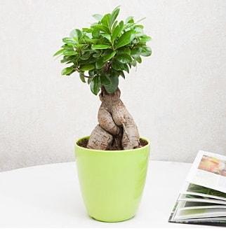 Ficus Ginseng Bonsai  Düzce çiçek gönderme sitemiz güvenlidir