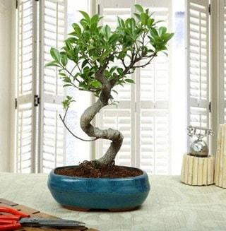 Amazing Bonsai Ficus S İthal  Düzce kaliteli taze ve ucuz çiçekler