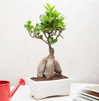 Exotic Ficus Bonsai ginseng  Düzce çiçek satışı