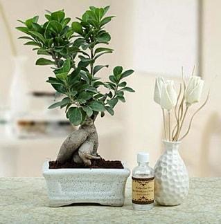 Ginseng ficus bonsai  Düzce çiçek mağazası , çiçekçi adresleri
