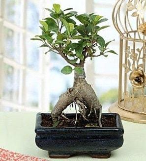 Appealing Ficus Ginseng Bonsai  Düzce çiçek yolla