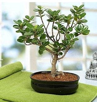Lovely Ficus Iceland Bonsai  Düzce çiçek yolla